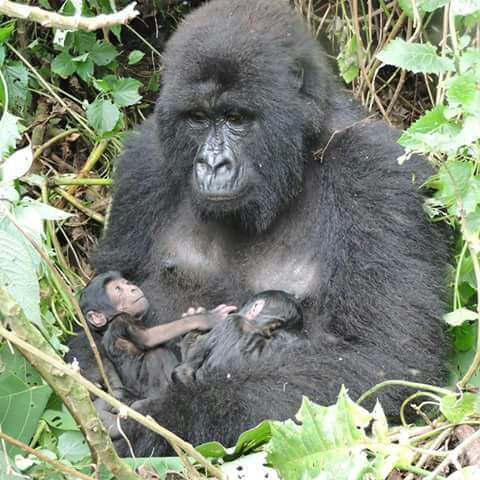 Gorilla Mother with Babies