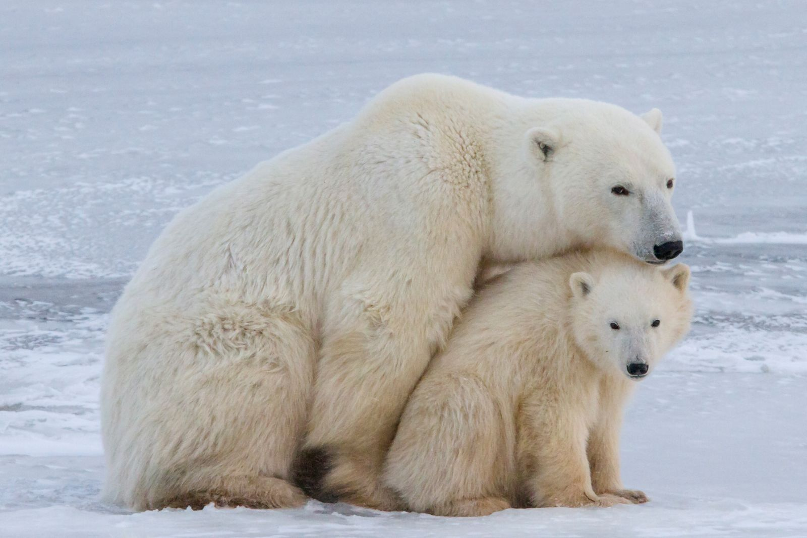 Polar Bear and Cub by Simon Gee