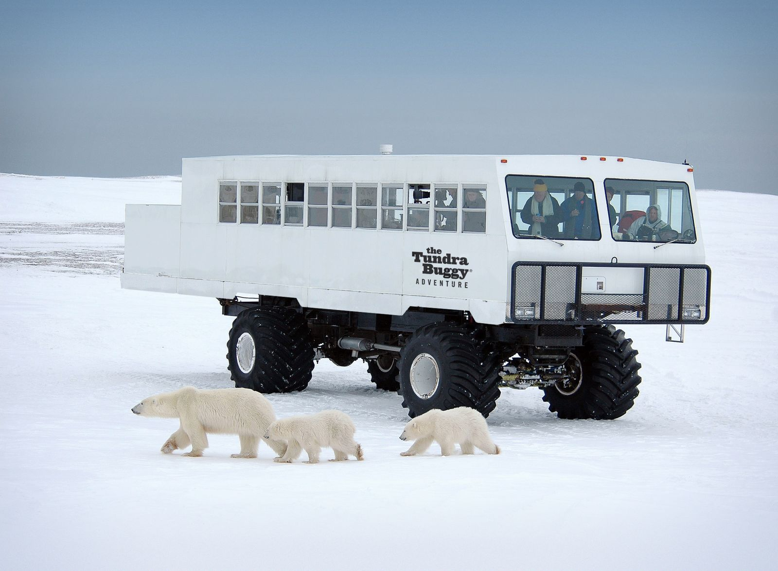 Tundra Buggy and Polar Bears - Robert R Taylor
